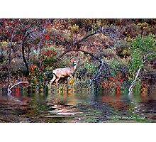 BUCK ON THE WATER Photographic Print