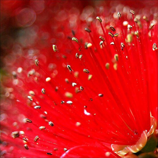 Australian Bottle Brush by Jodi Kneebone