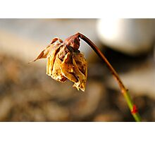 Dead Flower Photographic Print