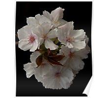 Mountain Cherry Blossum Poster