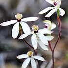 hooded caladenia by jeroenvanveen