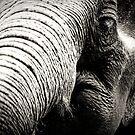 Elephant by lokanin