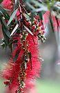 Aussie Bottlebrush Flower by yolanda