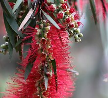 Aussie Bottlebrush Flower by yolanda