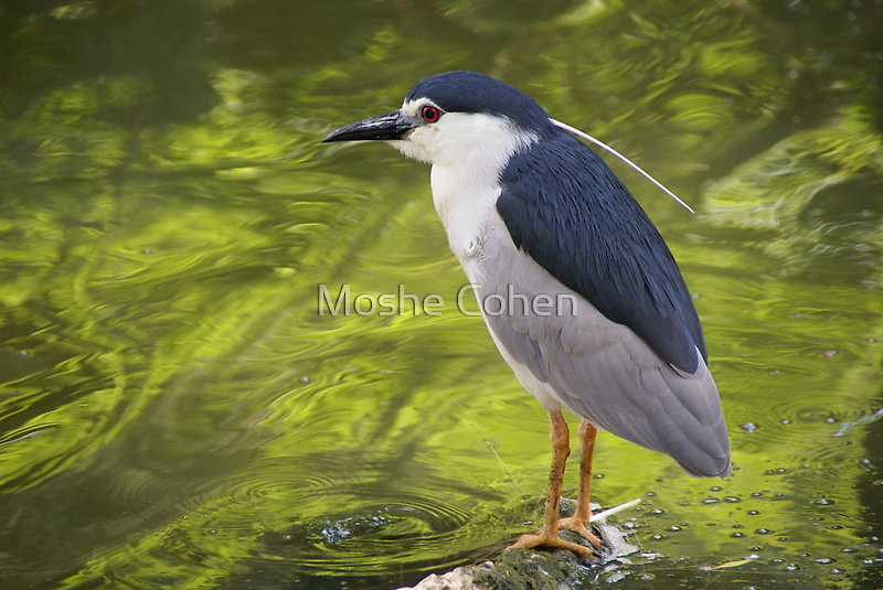 A bird on water by Moshe Cohen
