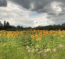 Dordogne Sunflower Field by Pete Stone