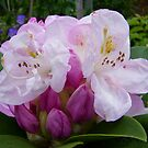 Shades of Pink .. a rhododendron by LoneAngel