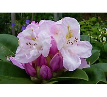 Shades of Pink .. a rhododendron Photographic Print
