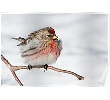 Cold resistant Common Redpoll Poster