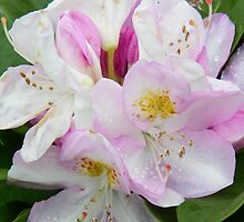Raindrops on a Rhododendron by LoneAngel