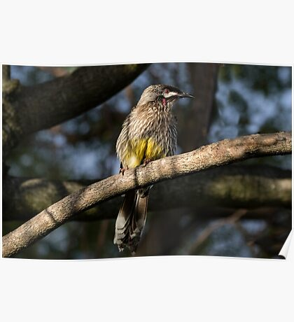 Young Adult Red Wattle Bird in Jacaranda Poster