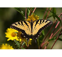Fall Tiger - Tiger Swallowtail Photographic Print