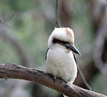 Kookaburra by Mark Bird