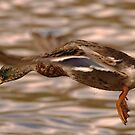 Mallard Inflight by Alexa Pereira