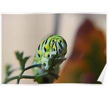 Brunch - Black Swallowtail Caterpillar Poster
