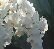 White Orchids by rualexa
