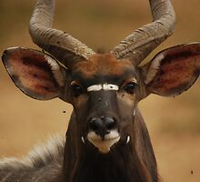 Nyala by Nick Hart