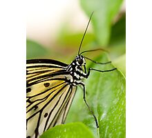 Tree Nymph Butterfly Photographic Print