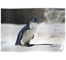 Penguins at Philip Island Poster