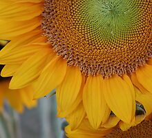 Sunflower by DicksonDesigns