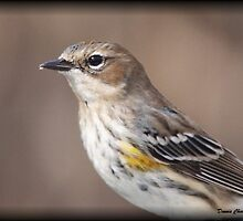 Yellow Rumped Warbler by Dennis Cheeseman