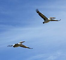 Pelicans in flight by Mark Bird
