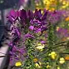 Cleome Violet Queen VI by photosbycoleen