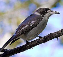 Grey Butcher Bird by bidkev1