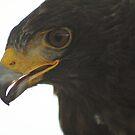 Harris's Hawk by arcadian7