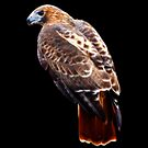 Red Tailed Hawk fractalized by arcadian7