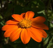 Mexican Sunflower Torch III by photosbycoleen