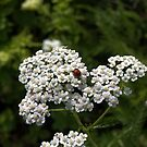 White Yarrow Lady Bug II by photosbycoleen