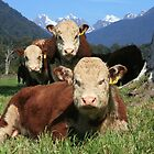 """""""critters""""   flagstaff hereford stud, west coast, nz by rina  thompson"""