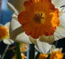 beautiful golden and white daffodil flower. by naturematters