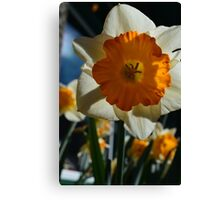 beautiful golden and white daffodil flower. Canvas Print
