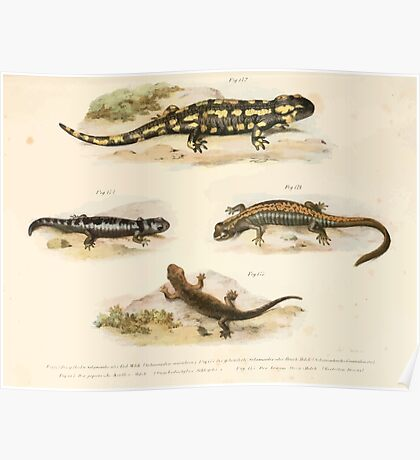 Leopold Joseph Fitzinger 1867 0211 Picture Atlas for popular scientific natural history of vertebrates Poster