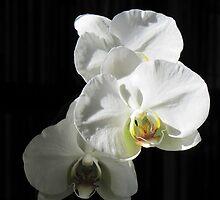 Orchid Trio by Veronica Schultz