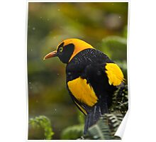 Regent Bowerbird in the Rain Poster