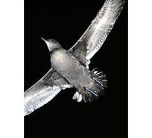 short-tailed shearwater Photographic Print