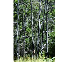 GATTON TALL TREES © Vicki Ferrari Photographic Print