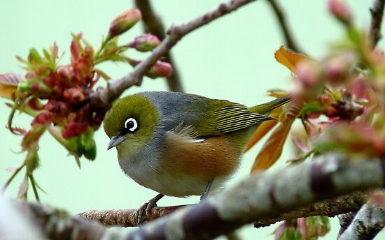 Blending in! - Silvereye - NZ - Southland by AndreaEL