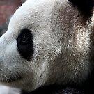 Panda by Dave Cauchi