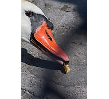 swan on lake Photographic Print