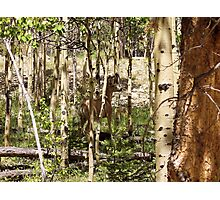 Can You See Me Now in the Aspens, Colorado Rockys Photographic Print