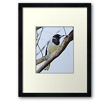 Pied Butcherbird Framed Print