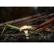 Hydnum spp Photographic Print