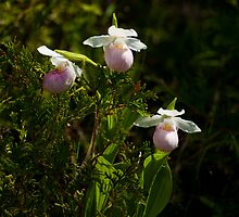 Showy Lady Slipper(Orchidaceae) by GailDouglas
