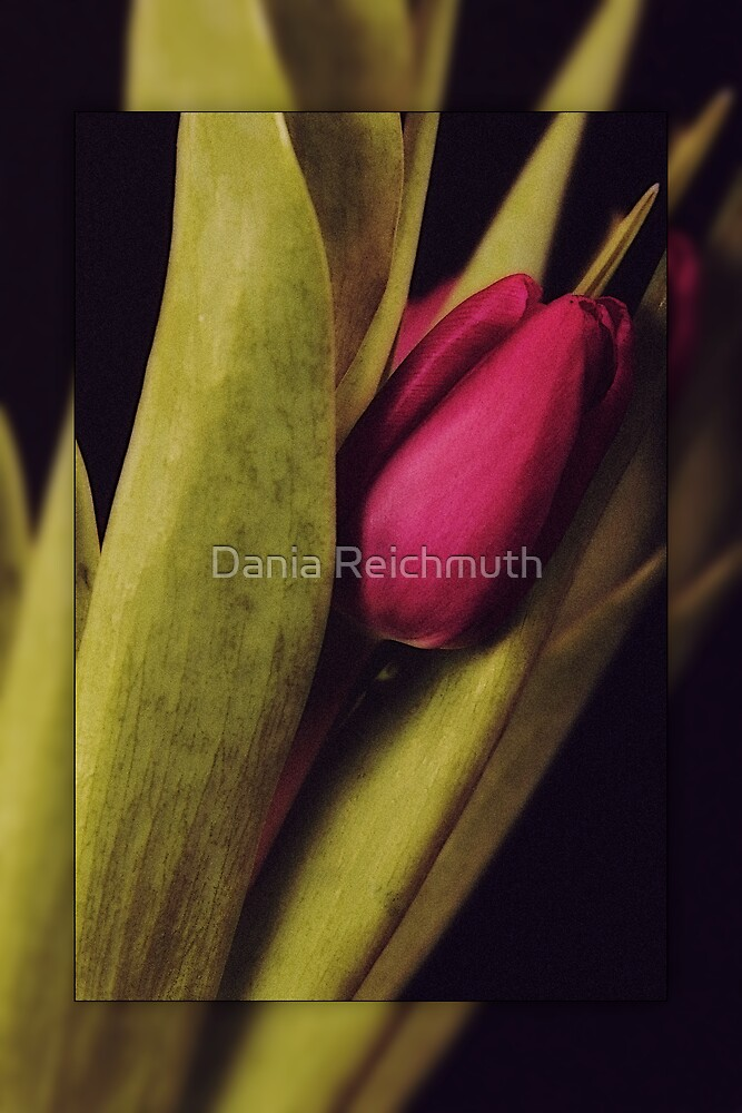Tulips Series II by Dania Reichmuth