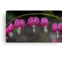 Macro Bleeding Heart Flowers Canvas Print