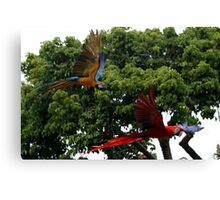 Macaws in Flight Canvas Print